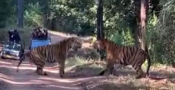 kanha-tigers